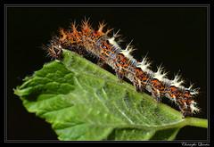 Chenille du Robert-le-Diable (Polygonia c-album) sur groseillier (Ribes nigrum) (cquintin) Tags: lepidoptera caterpillar arthropoda chenille ribes nigrum nymphalidae polygonia calbum macroinsectes