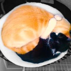 —a kitten ode to the 태극기 (at Palms) 🇰🇷 (anokarina) Tags: instagram cats kittens colorsplash appleiphone5s yinyang taijitu 태극도 taegukgi taegeukgi 태극기 太極旗 taeguk palms losangeles la california ca kalifornia