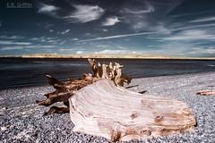 Drift Log - color infrared (Jutaika) Tags: color beach water ir log pebbles driftwood shore stump sound infrared pnw puget