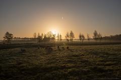 Morningsun and sheep... (CarolienCadoni..) Tags: trees light sun netherlands silhouette sunrise photography drops sheep farm foggy nederland groningen onstwedde sal2470z sonyslta99 termaars