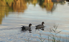 Autumn afternoon (judith511) Tags: lake reflections ripples framing odc brownducks naturethroughthelens