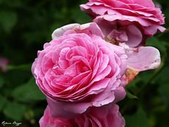 Pink rose (DameBoudicca) Tags: pink flower fleur rose blossom flor rosa blomma rosen ros fiore blte   rosier