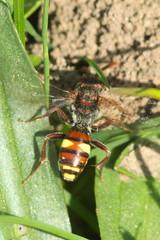 Nomada ruficornis (LisaOlsson) Tags: insect bee insekt bi nomada cuckoobee nomadaruficornis insekta gkbi gkbin trdgrdsgkbi