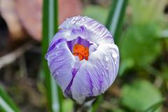CA4A4127 (janoschg) Tags: flower germany stuttgart blume krokus badenwrttemberg canoneos5dmarkiii canon5dmarkiii stuttgart2016 stuttgartmrz2016