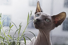 Curious (linneasnow) Tags: blue light summer pet plant cute green nature grass animal oslo norway cat naked nose photography photo spring eyes kitten pretty bright blueeyes kitty ears curious sphynx attention flirty ophelia furless nakedcat furlesscat