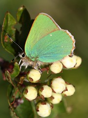 Green Hairstreak (Jillandcamera) Tags: butterfly greenhairstreak lincs donnanook