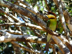 Chestnut Headed Bee Eater #2 (lostforideas) Tags: nationalpark chestnut srilanka colourful headed yala beeeater
