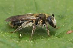 Andrena proxima, female (henk.wallays) Tags:
