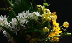 (:Linda:) Tags: germany whiteflower thuringia leite brlauch goldnessel bearsgarlic goldendeadnettle whitewildflower eichigt werravalleyhills