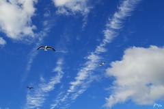 Seagulls with the clouds - Neuquen, Argentina (BrenBlur) Tags: road sky seagulls argentina clouds island seagull ave isla gaviotas gaviota neuquen