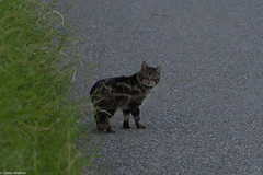 look at that (picturesbywalther) Tags: eye nature animal cat tiere catch katze augen blick