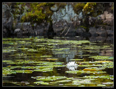 Lily Pads (lyncaudle) Tags: ely gus landscape lyncaudle minnesota nature plants travel vacation water northwoods lake
