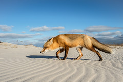 An afternoon with the fox (Khurram Khan...) Tags: redfox mammals wildlife wildlifephotography winter iamnikon ilovewildlife beach atlanticocean khurramkhan wwwkhurramkhanphotocom nikon nikkor nj