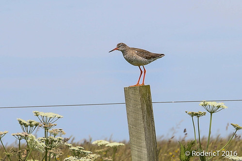20160707-IMG_6163 Greenshank Ness Of Brodgar Mainland Orkney Scotland.jpg