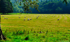 Scotland Inverkip a field of sheared sheep 17 August 2016 by Anne MacKay (Anne MacKay images of interest & wonder) Tags: scotland inverkip countryside landscape field sheared sheep xs1 17 august 2016 by anne mackay