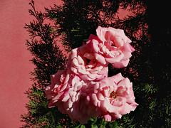 Colours Harmony of the Street ..... (ljucsu) Tags: flower flowers plant outdoor roses pinkrose lightandshadows summer summerflower august augustflower augustrose gardenrose gardenflower ngc npc
