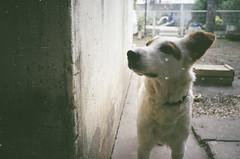 Minolta Freedom Escort (pedrocampana) Tags: compact analog 35mm kodak 200 spontaneous candid minolta espontanea compacta flash panasonic c625af super mini leica ii dog perro