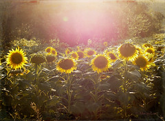 Sunflowers and Magical Light ... (MargoLuc) Tags: sunflowers girasoli sunlight golden hour sunset backlight summer field flowers yellow green leaves petals light outdoor texture renee glow landscape