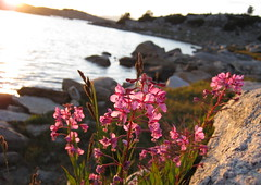 Fireweed evening (Jeff Goddard 32) Tags: highsierra sierranevadamountains california inyocounty wildflowers muriellake alpine fireweed chamerionangustifolium