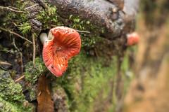 Gunung Beremban, Cameron Highlands (tik_tok) Tags: cameronhighlands malaysia asia trail7 trail5 trail3 forest jungle hiking outdoors nature mushroom fungus toadstool gunungberemban