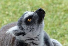 P1060249 (LaBonVampire) Tags: lemur animals nature leica leicalenses lumix