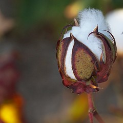 Flor del cot (Brbara L.F.) Tags: algodn cot flor flower cotton