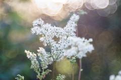 You don`t bring me Flowers (*Capture the Moment*) Tags: 2016 backlight bloom blossom blten bokeh gegenlicht pflanzen sonne sonnenuntergang sonynex7 sun sunset trioplan28100neo wetter blossoms weiss white