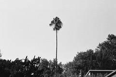 (Benz Doctolero) Tags: bw monochrome canon t50 50mm ilford 400 hp5 street vegetation trees california