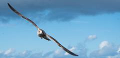 Soaring (gabriellelittler) Tags: water westkirby seagull bird sea