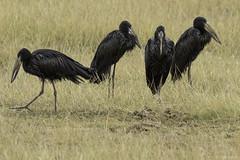 African Openbills on the grassy plain (quiinc) Tags: review africa kenya safari amboseli openbill