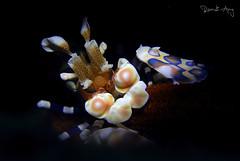 Harlequin shrimp (Hymenocera picta) (Randi Ang) Tags: harlequin shrimp harlequinshrimp hymenocerapicta kuanji tulamben bali indonesia underwater scuba diving dive photography macro randi ang canon eos 6d 100mm randiang