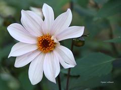 08-IMG_5908 (hemingwayfoto) Tags: berggartenhannover bishopofleicester blhen blte blume dahlie garten korbblter natur park pflanze weis