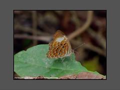 Butterflies-Indonesia (Douglas Dew butterflies) Tags: harlequin taxila haquinus