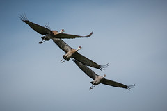 Sandhill Cranes (Grus canadensis) (Photo Patty) Tags: gruscanadensis isenbergcranereserve lodi sandhillcrane explore