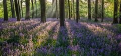 Blue carpet (grbush) Tags: flowers trees bluebells forest woodland spring woods northamptonshire panasonic bluebellwoods cotonmanor lumixg lumixg20f17
