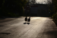 2 hens on the road (aresscc) Tags: italy chicken italia calabria hens galline vibovalentia sancostantinocalabro