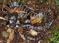 Formosa Wolf Snake (Lycodon ruhstrati ruhstrati) (cowyeow) Tags: china mountain nature forest asian wolf asia reptile snake chinese taiwan formosa juvenile snakes taoyuan taiwanese herp reptiles herps plumblossom herpetology 拉拉山 baling herping wolfsnake snakehunting lalamountain 白梅花蛇 lycodon chinasnake 下巴陵 chinareptile ruhstrati lycodonruhstrati lycodonruhstratiruhstrati