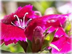 Pretty Pink (gummybear402) Tags: pink plant flower green nature nikon nebraska pretty vignette lincolnzoo l330