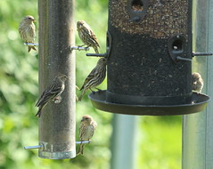 IMG_5683-1 Pine Siskins (John Pohl2011) Tags: bird canon john 100400mm pohl perching t4i 100400mmlens canont4i