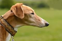 DSC_0015 - Ruby (saluki-greyhound), Spring 2015 portrait (SWJuk) Tags: uk portrait home dogs 50mm spring nikon unitedkingdom britain lancashire gb ruby sighthound saluki lightroom burnley 2015 gazehound d7100 salukigreyhound rawnef swjuk nikond7100 may2015 littledoglaughedstories