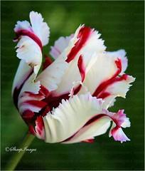 Pretty Parrot Tulip_103 (sh10453) Tags: usa michigan oakpark