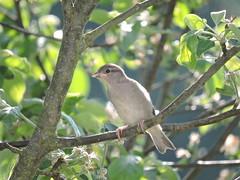 ...und wieder aufgewacht :) (Lena Hamm) Tags: summer tree bird tiere spring sommer äste blätter baum vogel frühling twittering gezwitscher