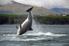 Fungie (Barbara Walsh Photography) Tags: sea water happy bay jump dingle free dolphine fungie