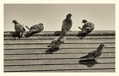 Pigeons on the Shed Roof (foggyray90) Tags: birds pigeons sepiatone weatheredroof