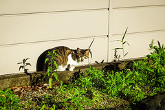 Today's Cat@2016-05-15 (masatsu) Tags: cat pentax catspotting mx1 thebiggestgroupwithonlycats
