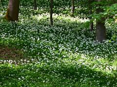 Bears-garlic meadow (:Linda:) Tags: tree germany whiteflower thuringia veilsdorf beechtree buche leite brlauch bearsgarlic bearsgarlic werrahills eichigt werravalleyhills whitwildflower