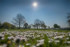 Frhlingserwachen (otto.hitzegrad) Tags: natur wiese blumen mai bremen stern sonne bume gegenlicht blten weitwinkel blumenwiese frhlingserwachen gegenlichtaufnahme weitwinkelaufnahme