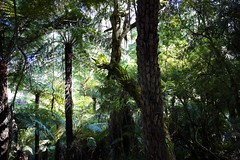 Australia Dandenong (Flash 61) Tags: forest dandenong luminous treeferns ancientforest