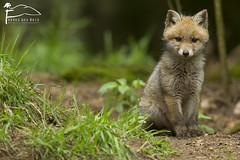 Trop mignon ! (Les Frres des Bois) Tags: cub redfox vulpesvulpes renardeau renard vulpes goupil renardroux