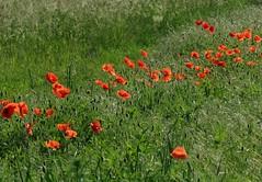 Klatschmohn (germancute) Tags: summer plant flower nature outdoor sommer feld wiese poppy wildflower mohn